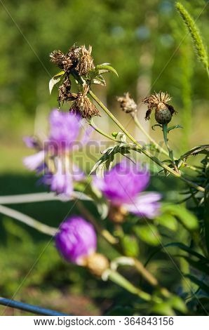 Meadow Pink And Purple Flowers In The Summer Field. Live And Dry. Opposites And Contract. Nature Lan