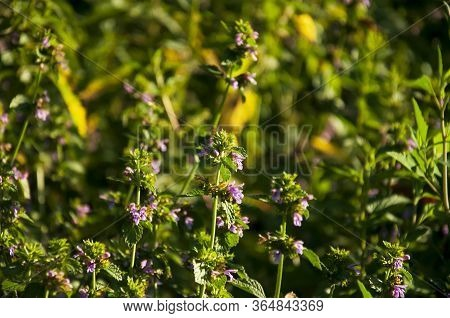 Meadow Violet And Purple Flowers Of Thyme In The Summer Field. Green Background. Nature Landscape