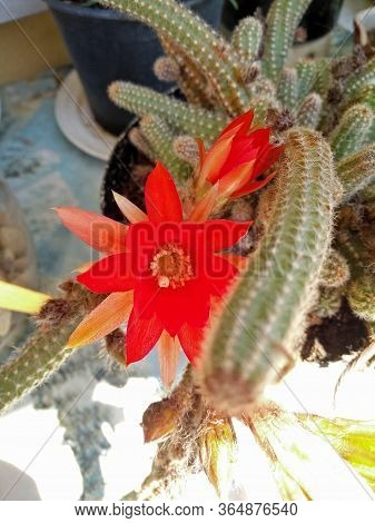 A Closeup Pic Of A Colorful Red Cactus Plant Flower In Bloom In A Garden In Springtime