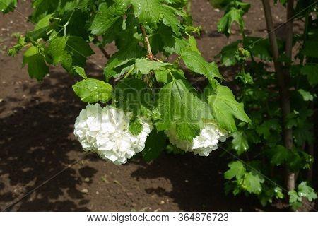 2 Round White Inflorescences Of Viburnum Opulus Sterile In May