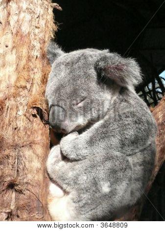 Koala Asleep Between Two Branches At Koala Park Near Wauchope, N.S.W.