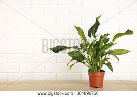 Spathiphyllum Plant With Flowers In Flower Pot On White Background With Copy Space.