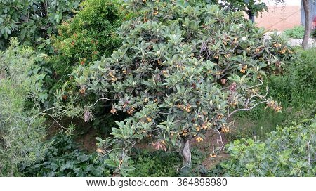 Nearly Ripe Loquat Or Nispero Fruit On Tree Andalucia