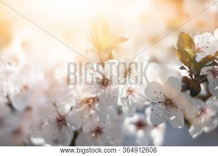 Blooming Spring Tree Branches With White Flowers