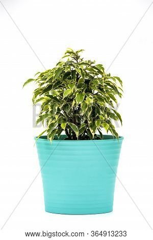 Ficus Kinky Houseplant In Flowerpot On White Background. Plant In A Pot. Ficus Kinky Tree Isolated O