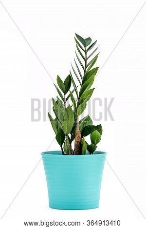 Zanzibar Gem, Zamiokulkas Or Zamia - Houseplant In Flowerpot On White Background. Plant In A Pot. Za