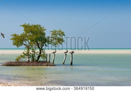 Pelicans Rest On Wooden Poles Near The Beach Holbox Island Mexico. Mangrove Trees On The Sea. Panora