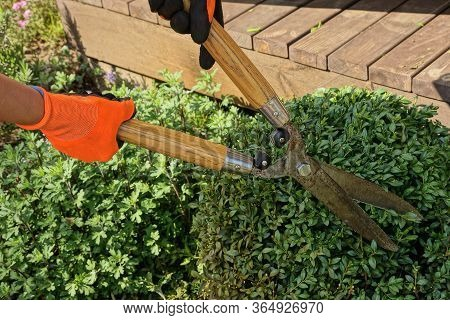 Hands Of A Gardener In Orange Gloves Hold Big Pruner Shears Over A Green Bush Of A Plant In The Gard