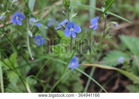 Little Blue Flowers In The Spring Forest. Veronica Chamaedrys, The Germander Speedwell, Bird's-eye S