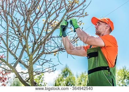 Male Gardener Trimming Shaping And Pruning Tree By Cutting Small Twigs And Branches With Hand Shears