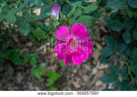 A Beautiful Gallic Rose In My Garden