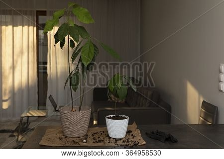 Man's Hands Transplanting Plant A Into A New Pot. An Attractive Man Transplanted An Avocado Seedling