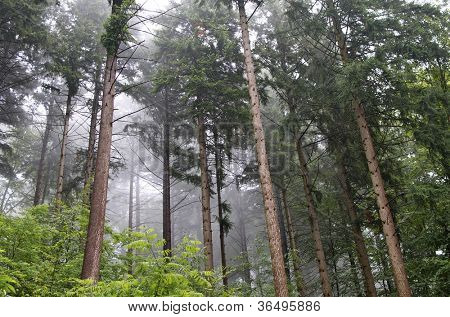 Evergreen trees and undergrowth with mist: Freiburg, Black Forest, Germany