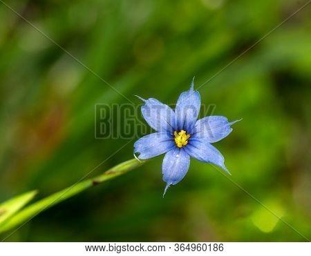 Eastern Blue-eyed Grass (Sisyrinchium atlanticum) in bloom