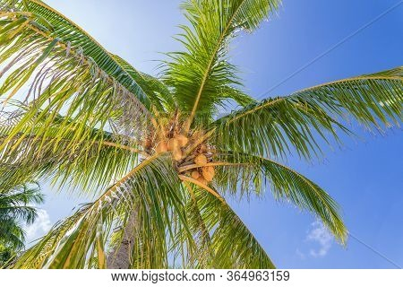 Green Palm Tree Crown With Fluffy Leaves On Blue Sky Background. Coco Palm Tree Scene. Summer Vacati