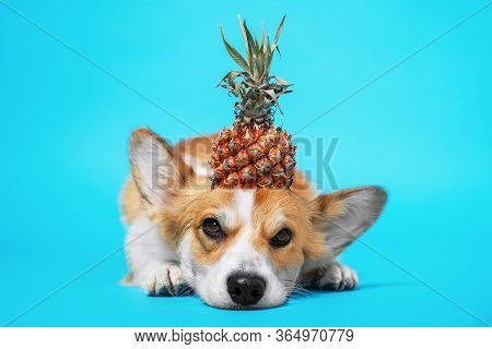 Funny Grumpy Welsh Corgi Pembroke Or Cardigan Dog With Half Of Ripe Pineapple With Green Leaves On H
