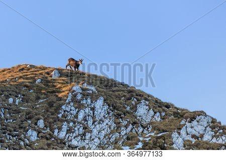 Chamois (rupicapra Carpatica) In Piatra Craiului Mountains, Romania