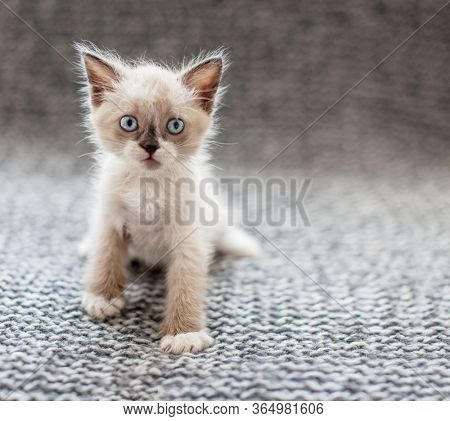 Kitten on a gray knitted blanket. Little cut cat at home