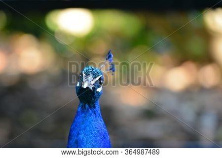 Beautiful peacock head shot in nature