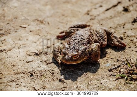 Big River Toad Close-up. An Amphibian Frog Sits On The Sand.