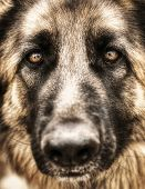 Closeup portrait of german shepherd, cute adult domestic animal, best friend for human, beautiful pedigreed dog face poster