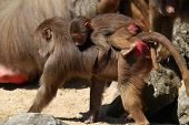 young hamadryas baboon ( Papio hamadryas) hanging on to it's mother poster