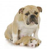 mother dog and three week old puppy - english bulldog poster