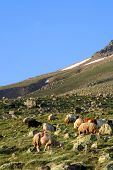 Sheep feeding on hillside of HASAN mountain poster
