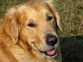 Close up of a beautiful Golden Retriever dog poster