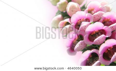 Foxgloves On Pink