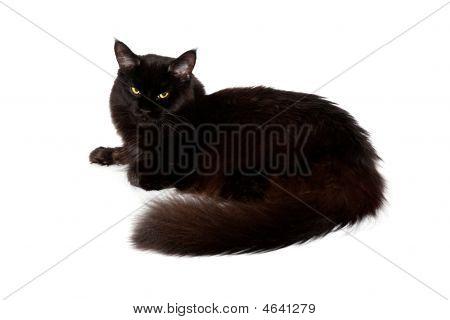 黑色缅因库恩猫