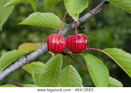 Sweet Cherry On A Tree