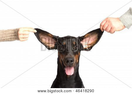 Cute Ears Of Dobermann Dog