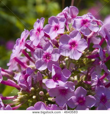 Phlox Flower Cluster
