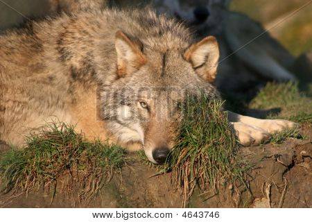 wolf pup resting but still on the watch poster