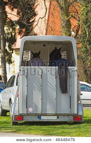 View of two horses in the transport car. One of horses has tail through the back wall of the transport vehicle. poster