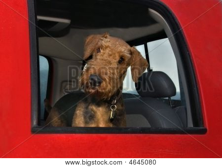 Airedale Terrier Riding In Red Truck With Head Out Window