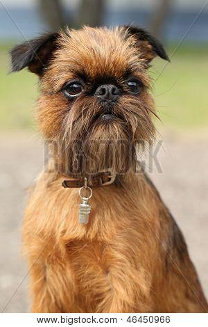 Brussels Griffon dog, close-up portrait. (Outdoor shoot) poster