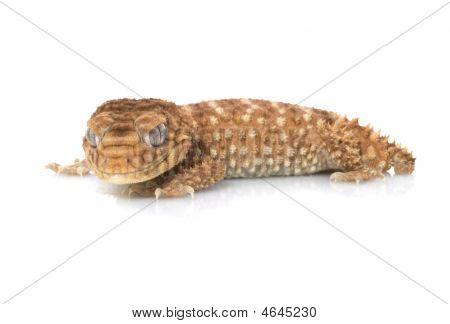 M. Amyae Gecko