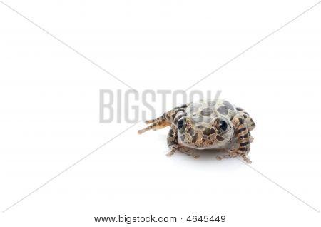 Tigerleg Walking Frog