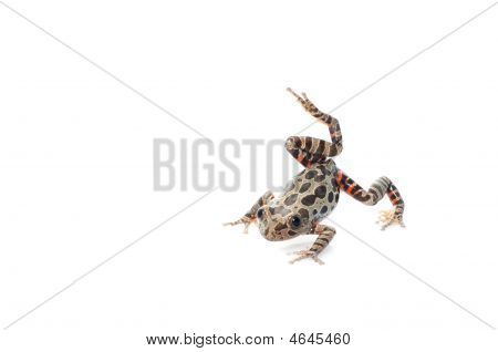 Tigerleg Walking Frog landing on white background. poster