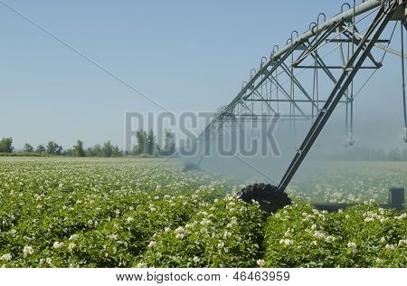 An Idaho potato field irrigated by a pivot sprinkler system. poster