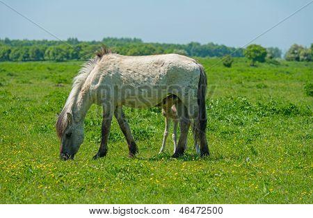 Foal drinking milk in a sunny meadow poster