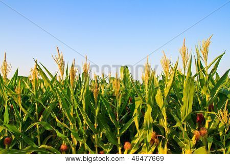 Corn plant and flower against blue sky