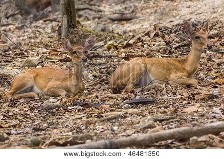 Two Small Deer In Chiangmai Zoo , Thailand