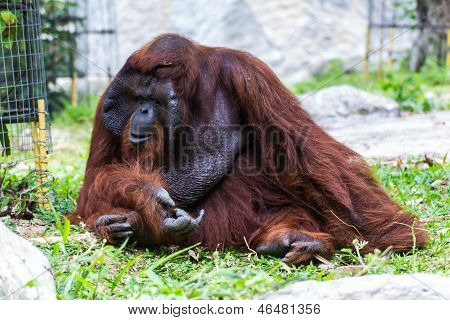 The Adult Male Of The Orangutan In Chiangmai Zoo, Thailand