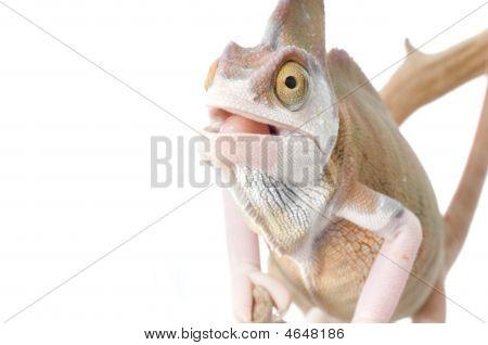 Veiled Chameleon (loss Pigmentation)