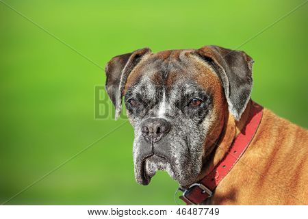 Portrait Of A Boxer Doog