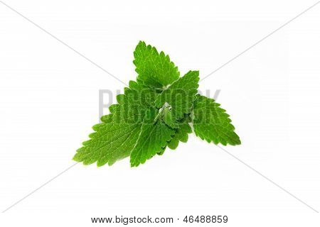 Green Mint Isolated