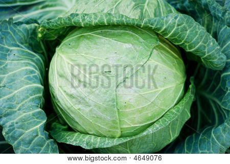 Head Of Fresh Cabbage With A Lot Of Leaves